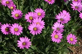 plants native to africa purple mountain sun daisy monrovia purple mountain sun daisy
