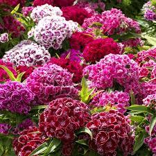 sweet william flowers sweet william dwarfs