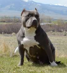 american pitbull terrier kennels in arizona blue pitbulls xxl u0026 pocket blue pitbulls blue pitbull puppies for
