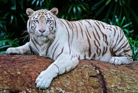 white tiger cubs maul keeper to in india business recorder