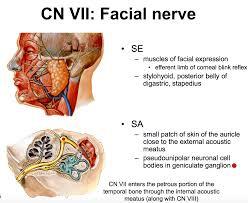 Visceral Somatic Reflex Anatomy G57 Orientation To Cranial Nerves Anatomy Unit 7