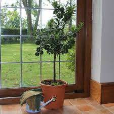 porch plants trees tree plant gifts for porches