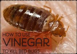 Can Bleach Kill Bed Bugs Best Diy Homemade Vinegar Bed Bug Killer Dengarden