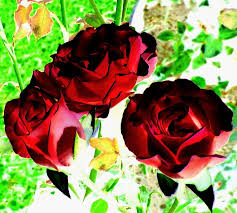 colored roses wine colored roses digital by will borden