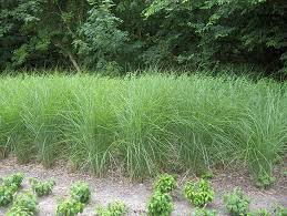 the best ornamental grasses for the northeast and zone 6 neave