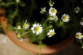 can i grow chamomile indoors tips on growing chamomile indoors