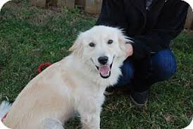 american eskimo dog new mexico sadie adopted dog derry nh american eskimo dog golden