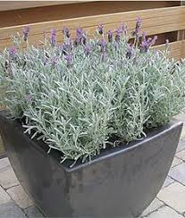 Most Fragrant Lavender Plant - dutch mill lavender we suggest