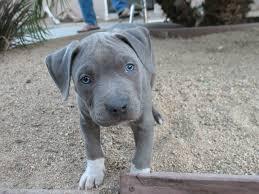 american pitbull terrier kennels usa blue pitbull junior millan u2014 blue nose american pitbull