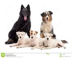 belgian sheepdog groenendael rescue belgian shepherd groenendael stock photography image 27421422