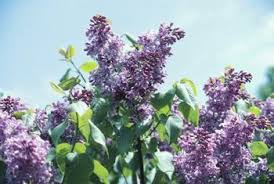lilac trees that can be grown in zone 9 home guides sf gate