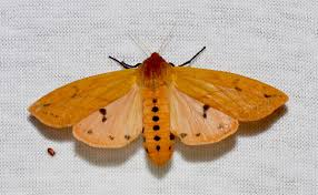 pyrrharctia isabella wikipedia