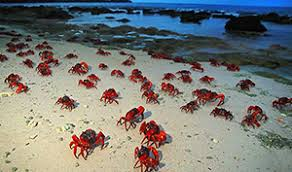the invasion of the red crabs
