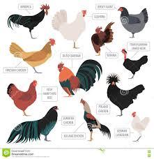 chicken breeds at chicken breeds black with backyard chicken