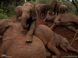 orphan elephants photo gallery pictures more from national
