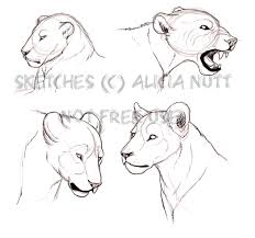lioness face drawing female lion or lioness illustration hand