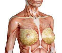 Picture Of Anatomical Position Female Breast Anatomy Function Parts And Pictures Healthhype Com