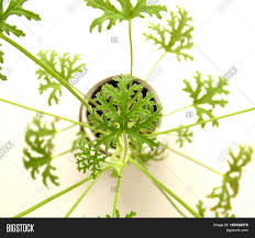 Foliage Flower - cultivation succulent pelargonium cultivation flora botany