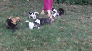 australian shepherd and beagle mix beagle mix puppies for sale lena stoltzfus youtube