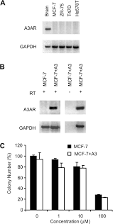 an adenosine analogue ib meca down regulates estrogen receptor α