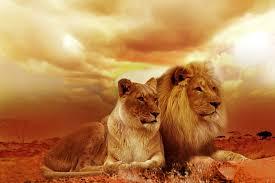imagenes de leones salvajes gratis león safari áfrica foto gratis en pixabay