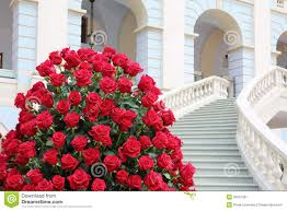 big bouquet of roses big bouquet roses stock photos images pictures 1 010 images