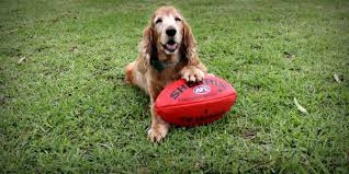 knockout footy tipping rspca south australia