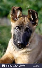 belgian shepherd 2 months belgian german shepherd stock photos u0026 belgian german shepherd