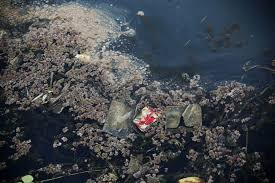 how pollution is devastating an indonesian lake yale e360