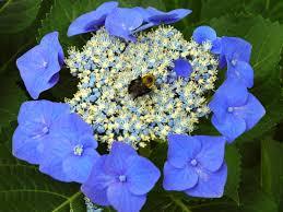 hydrangea all about hydrangeas or don u0027t it make my pink blooms blue