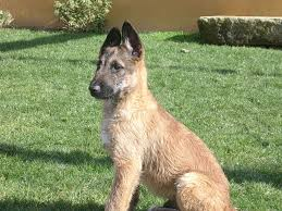 belgian sheepdog virginia ovejero belga laekenois chien de berger laekenois belgian
