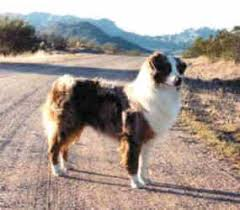 twin oaks 2 australian shepherd cashel u0027s foundation dogs