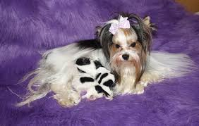 stunning yorkie hair cuts yorkie haircuts and styles inspirational terrier haircut styles