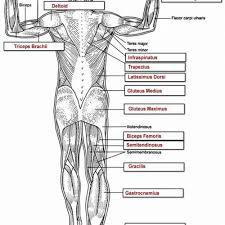 human muscle anatomy worksheet human anatomy charts