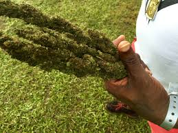 cannabis cup 2015 this is what a marijuana festival in jamaica