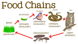 what travels through a food chain or web images What is the difference between a producer secondary consumer