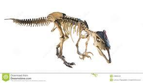 megaraptor megaraptor namunhuaiquii skeleton isolated stock