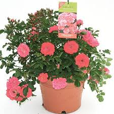 Roses For Sale Coral Drift Roses Coral Drift Roses For Sale Fast Growing Trees