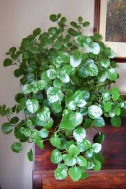swedish ivy plant will someone please acknowledge it has the