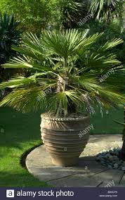 mediterranean fan palm tree mediterranean fan palm stock photos mediterranean fan palm stock