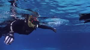 Georgia snorkeling images Swimming with whale sharks at the georgia aquarium jpg