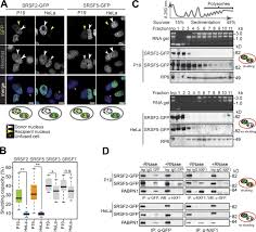 cellular differentiation state modulates the mrna export activity
