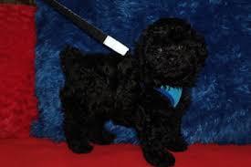 affenpinscher puppies florida maltipoo available puppies u2013 tlc puppy love