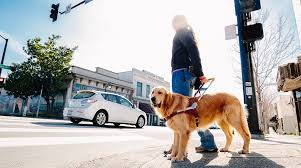 How Does A Guide Dog Help A Blind Person Guide Dogs For The Blind Careers