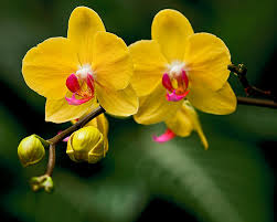 yellow orchid photograph by michael fisher