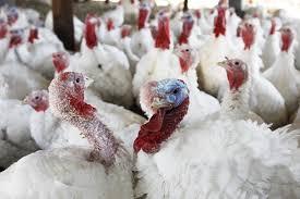 thanksgiving turkey prices turkey shortage in n j not quite but cost of birds reaches all
