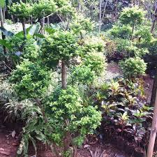 Teh Tehan jual bonsai teh tehan berbagai ukuran situs tanaman lengkap