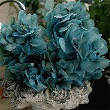 wholesale hydrangeas 37 best dried and preserved hydrangeas images on