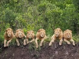 37 lions images carnivals crafts kids