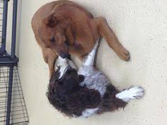Canine Creature Comforts Barney Aka Wiggle Caninecreaturecomforts Dogdaycare